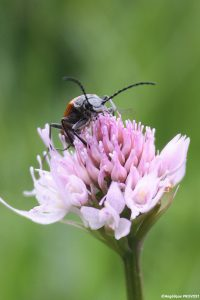 coleo-sur-orchis-globeuleuxsign